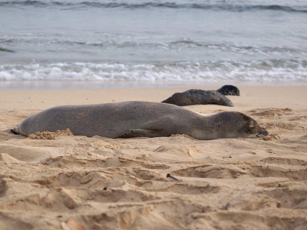 Seals at Poipu Beach