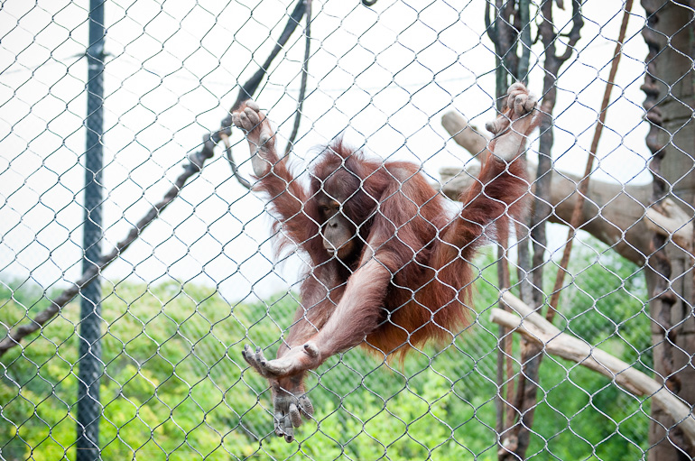 Orangutan reaching out