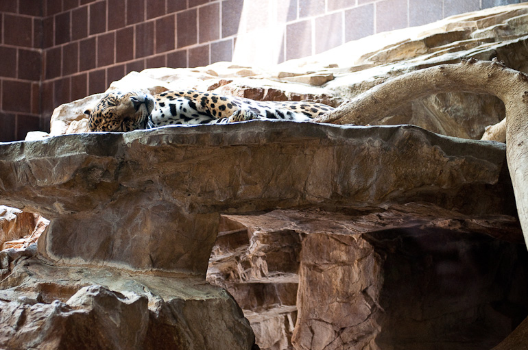 Leopard sleeping on a rock