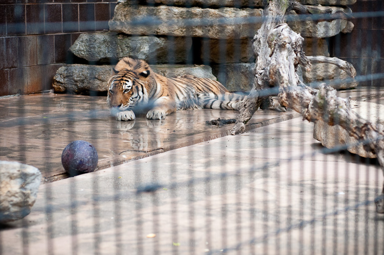 Tiger laying with head down