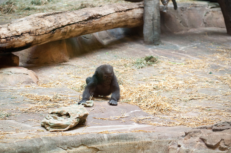 Baby gorilla getting his blanket