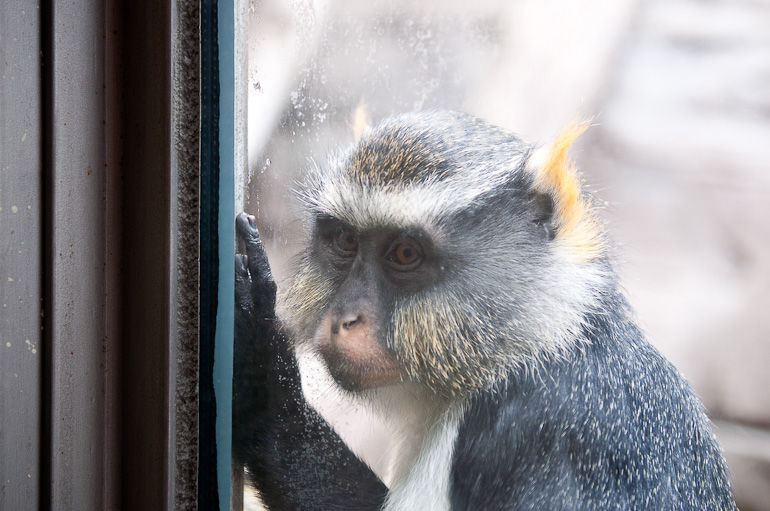 Monkey thing looking through glass
