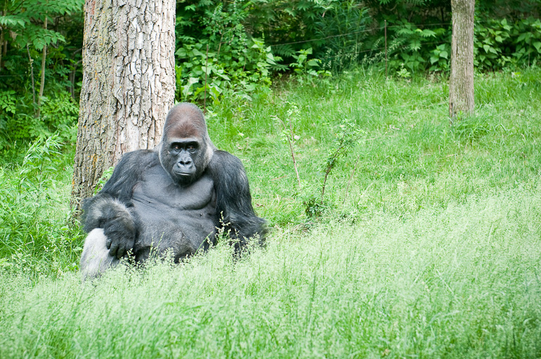 Gorilla sitting by tree