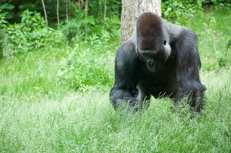Gorilla moving closer