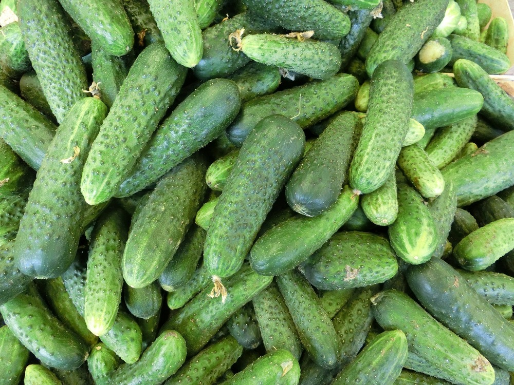 Cucumber, Pickling