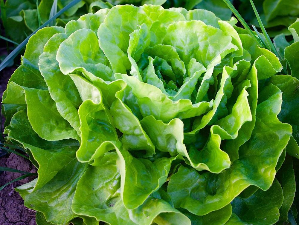 Lettuce, Butterhead