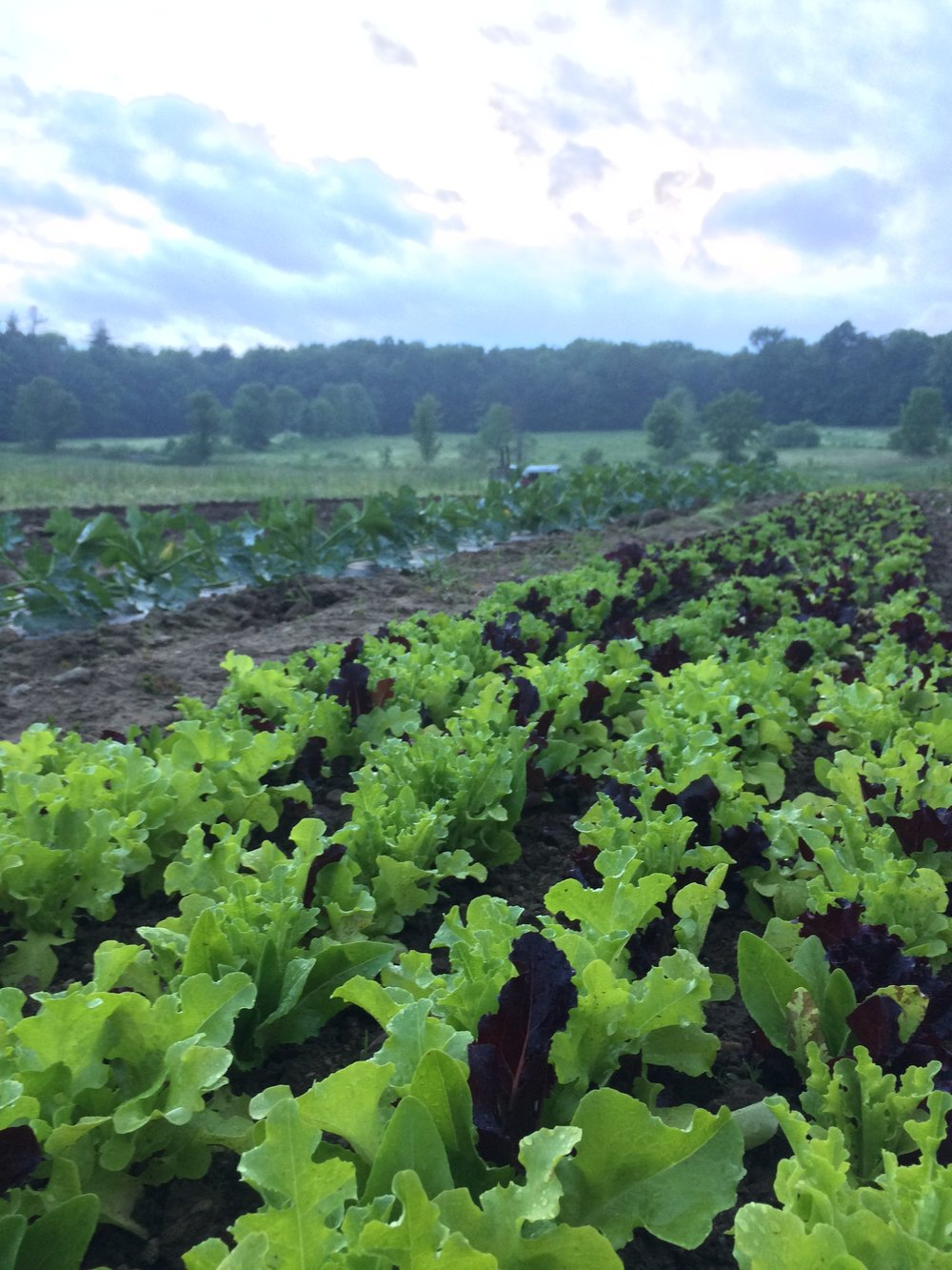 our lettuce mix is cut and double washed for quality and your convenience. zucchini and patty pan squash behind.