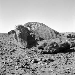 7 Nolan's Existentialist Camera: CHRISTOPHER HEATHCOTE    Untitled (Cow and calf carcass covered in dirt 1)  All images from 1952, archival inkjet prints, 23 x 23cm; all of work by Sidney Nolan. Image courtesy The Sidney Nolan Trust