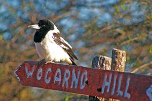 4 Super Tweeter: HOLLIS TAYLOR   Pied butcherbird at Wogarno Station, WA. Photograph by Chris Tate