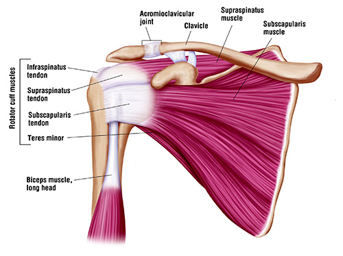 Focus on the Rotator Cuff Grouping. As you create the 'ball turning (back) in the socket' movement, these muscles become active.  Picture courtesy of: ISMOC