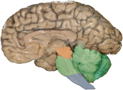 the reptilian brain - brainstem and cerebellum