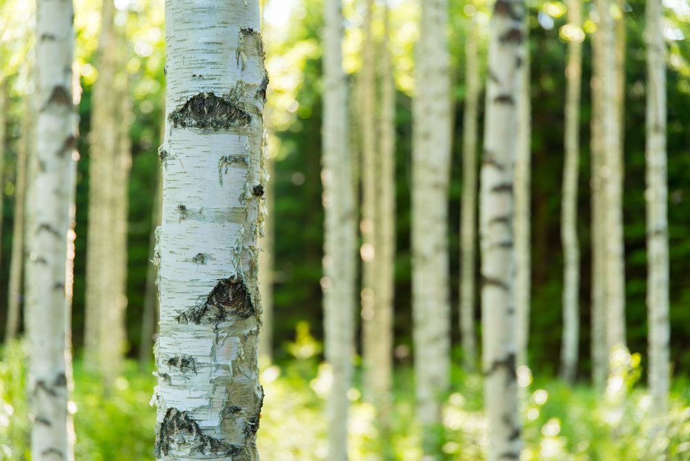Nordic forests. Birch tree forest in Finland