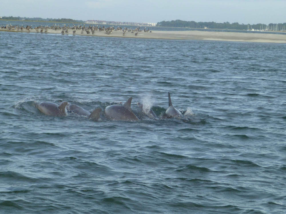 Atlantic Bottle Nose Dolphin