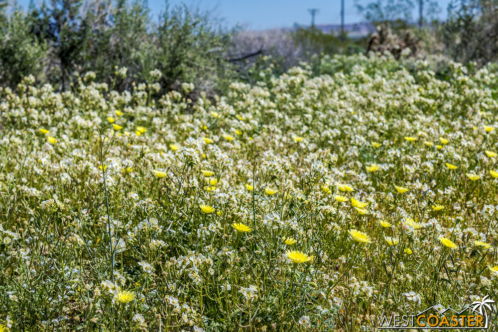 BorregoSprings-17_0316-B-Flowers-0001.jpg