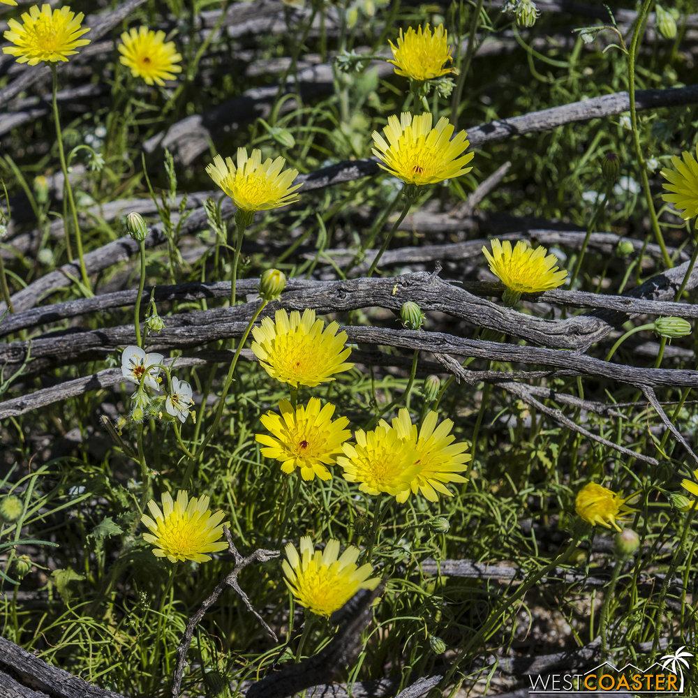 BorregoSprings-17_0316-B-Flowers-0003.jpg