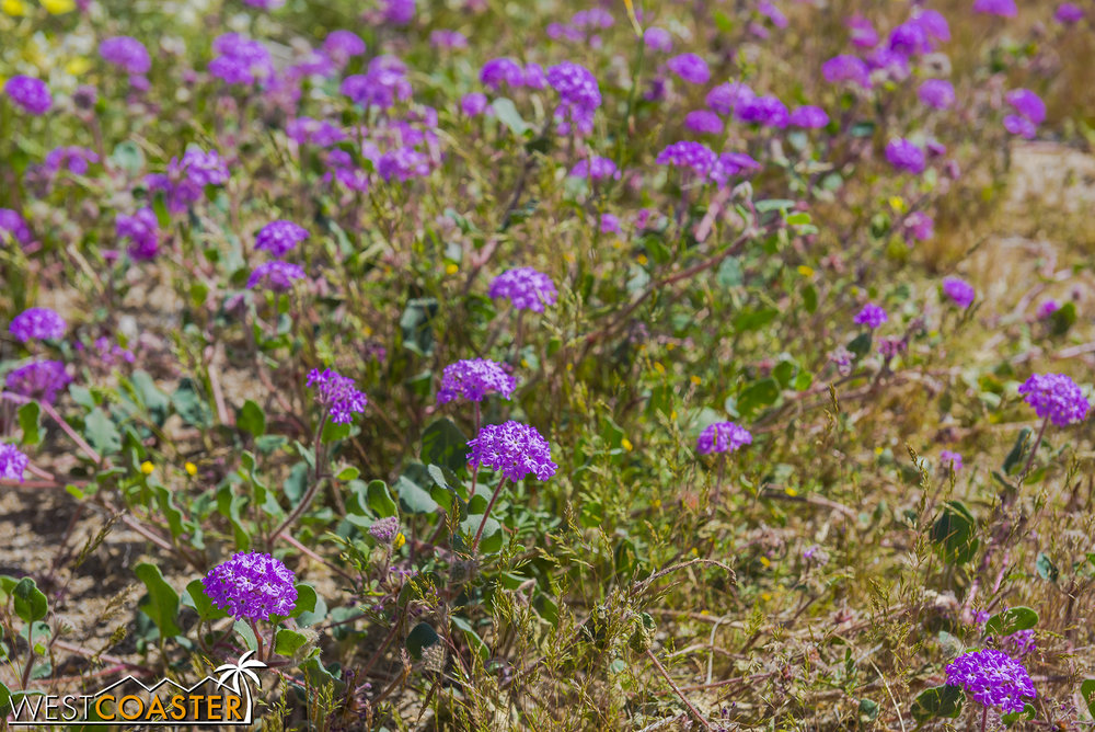 BorregoSprings-17_0316-B-Flowers-0009.jpg