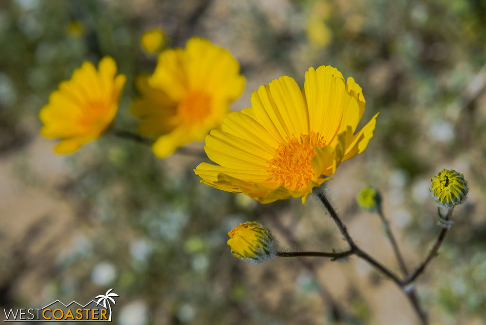 BorregoSprings-17_0316-B-Flowers-0011.jpg