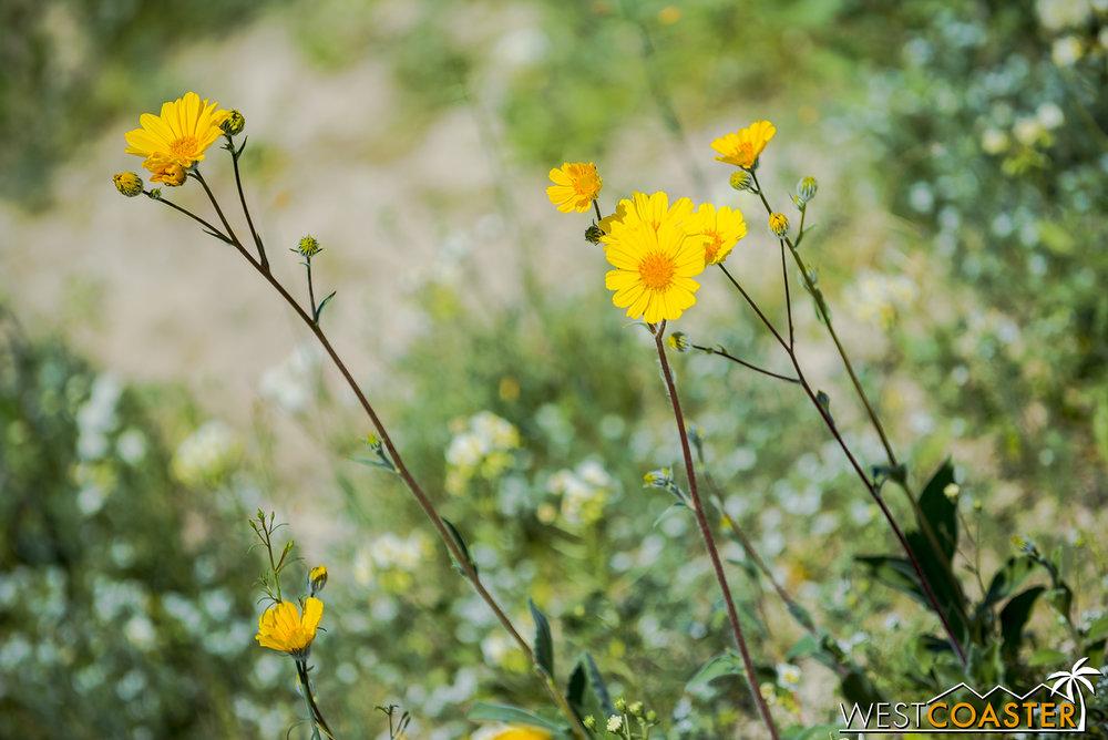 BorregoSprings-17_0316-B-Flowers-0012.jpg