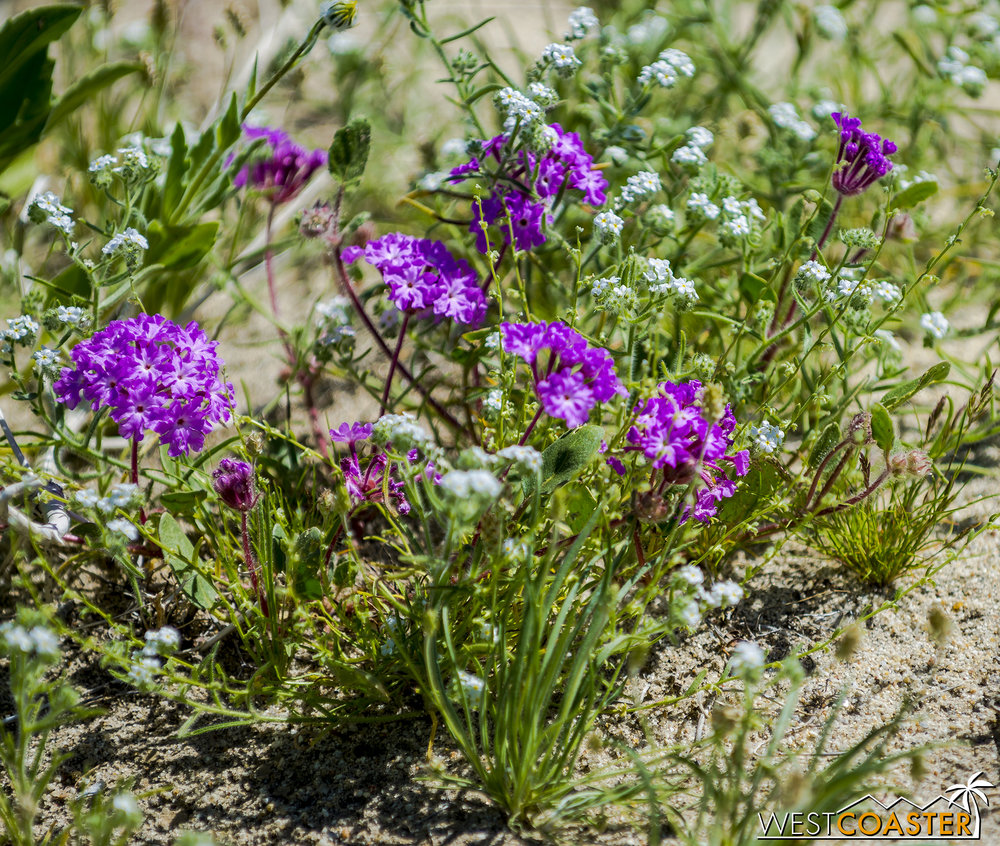 BorregoSprings-17_0316-B-Flowers-0014.jpg