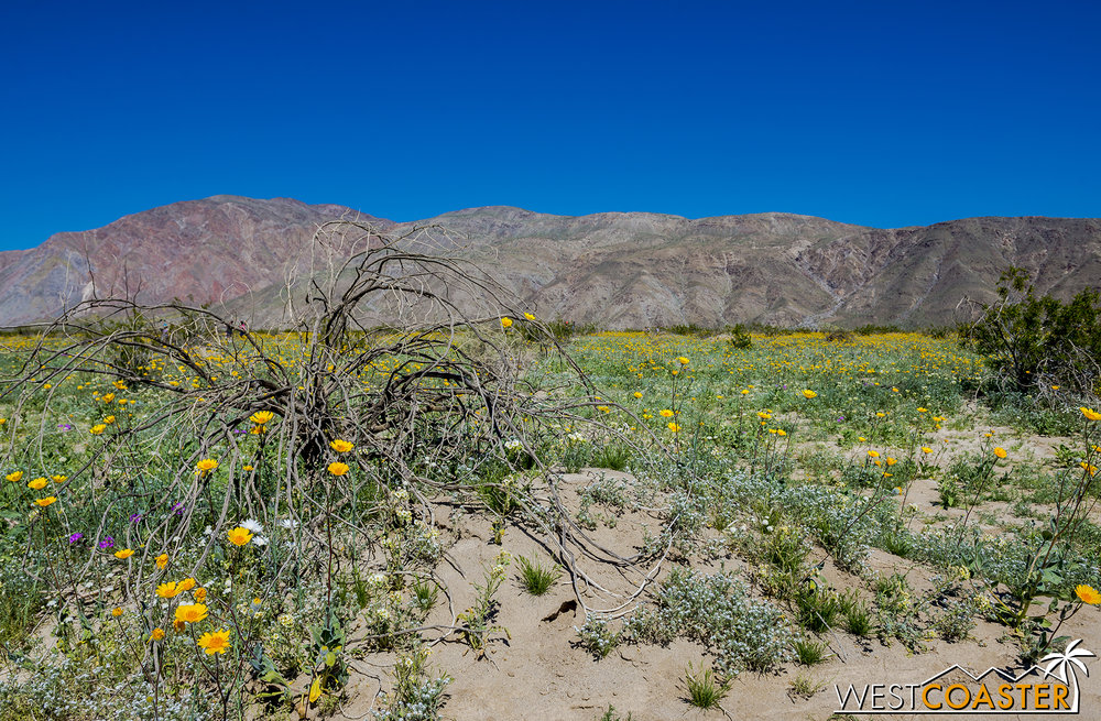 BorregoSprings-17_0316-B-Flowers-0016.jpg