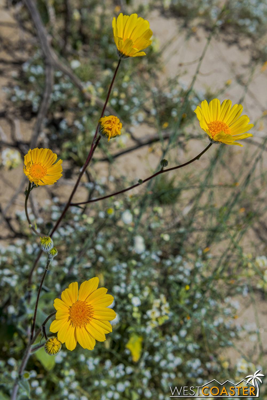 BorregoSprings-17_0316-B-Flowers-0017.jpg