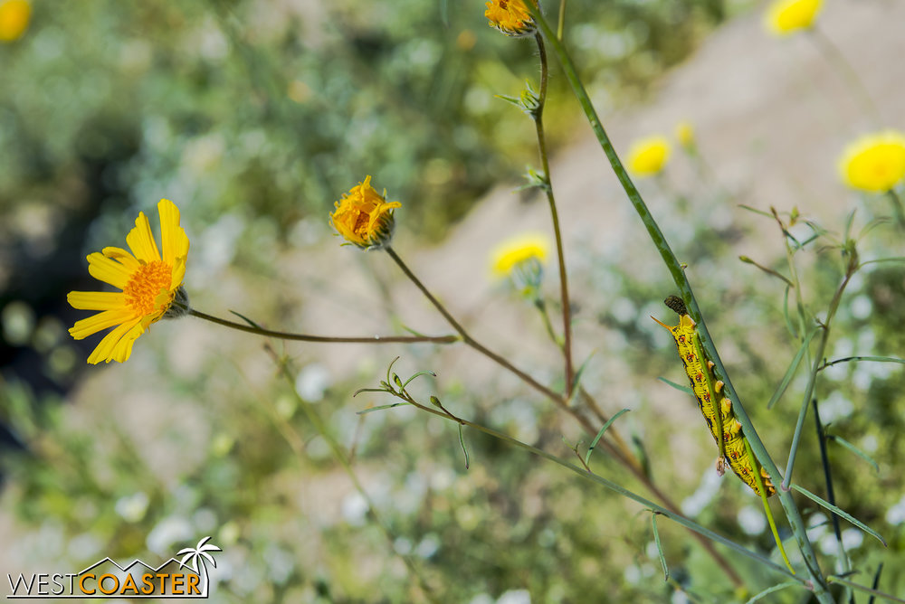 BorregoSprings-17_0316-B-Flowers-0018.jpg