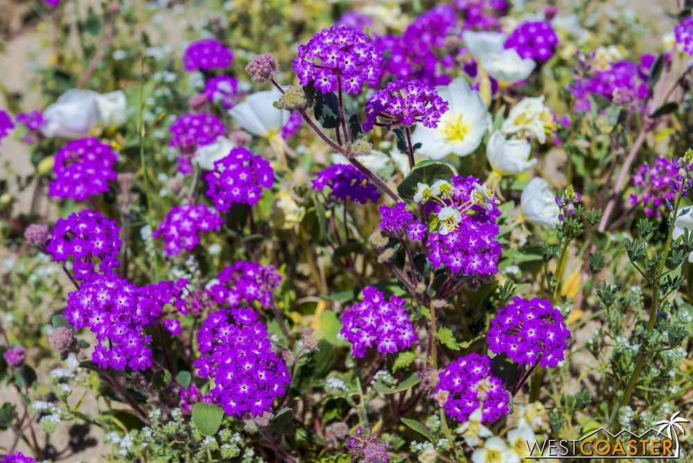 BorregoSprings-17_0316-B-Flowers-0021.jpg