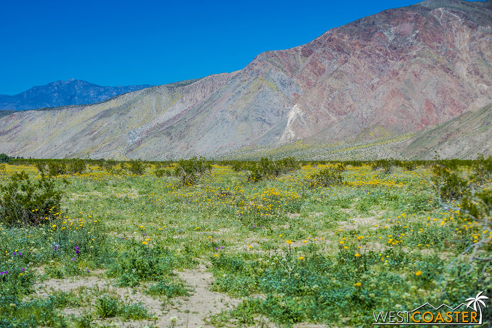 Wildflowers in bloom in Borrego Springs.