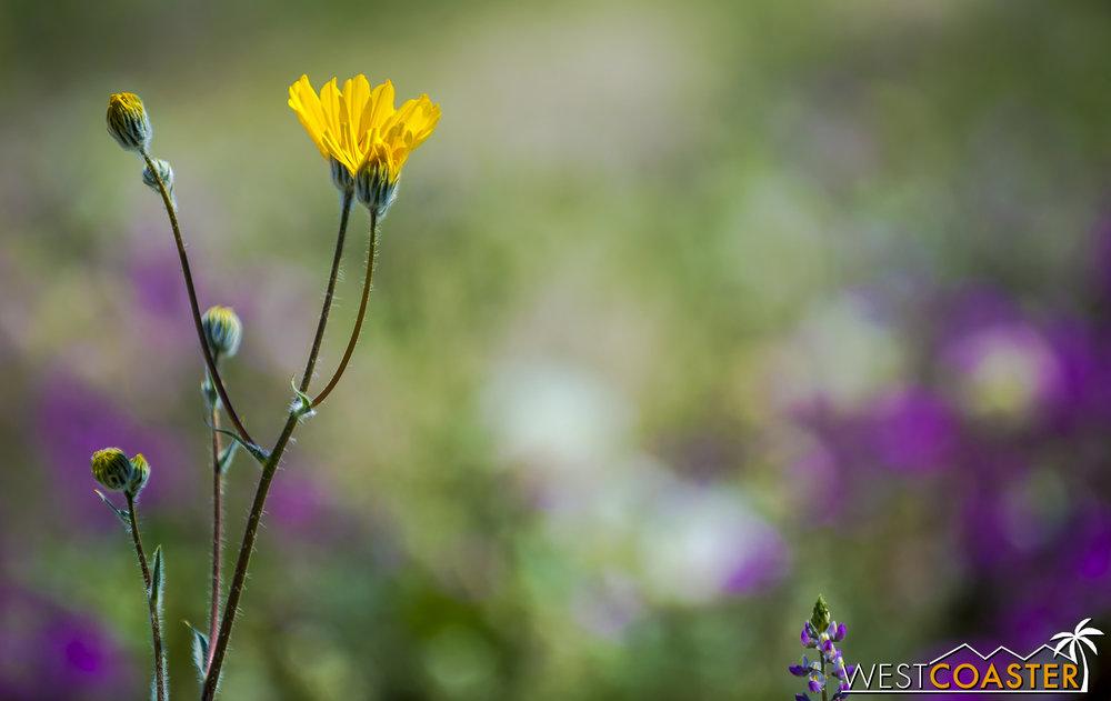 BorregoSprings-17_0316-B-Flowers-0026.jpg