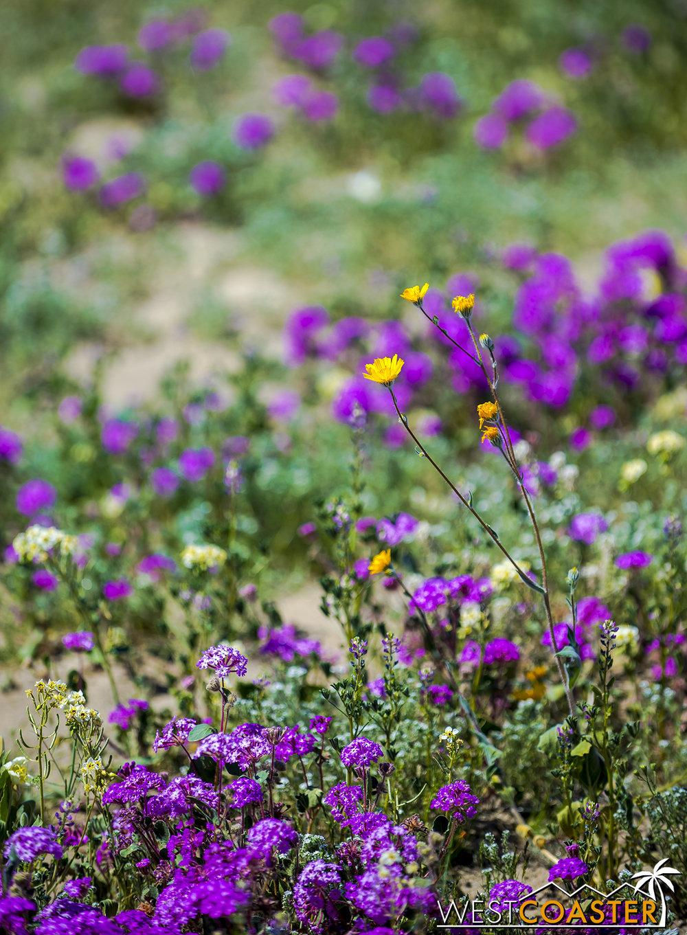 BorregoSprings-17_0316-B-Flowers-0025.jpg