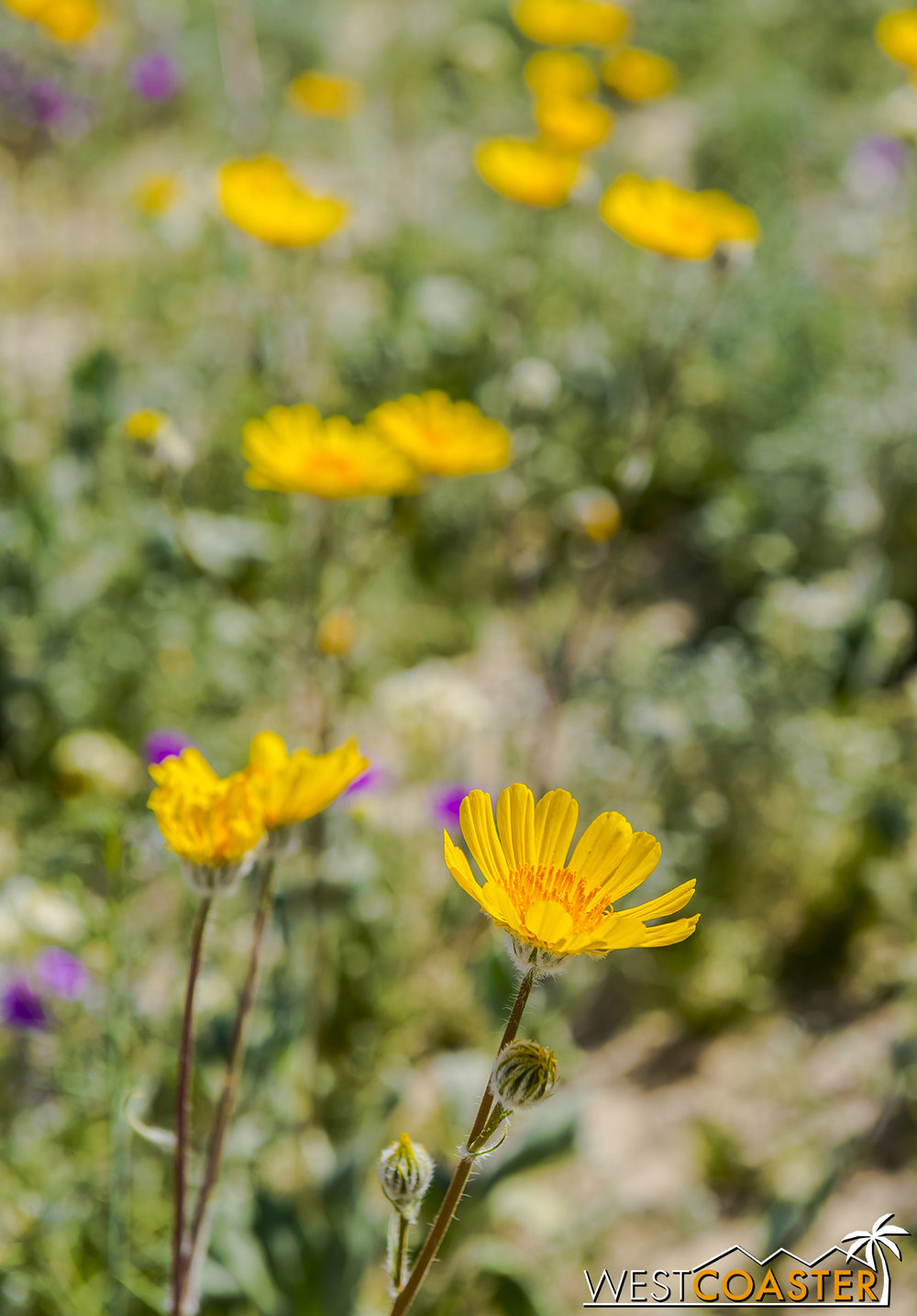 BorregoSprings-17_0316-B-Flowers-0031.jpg
