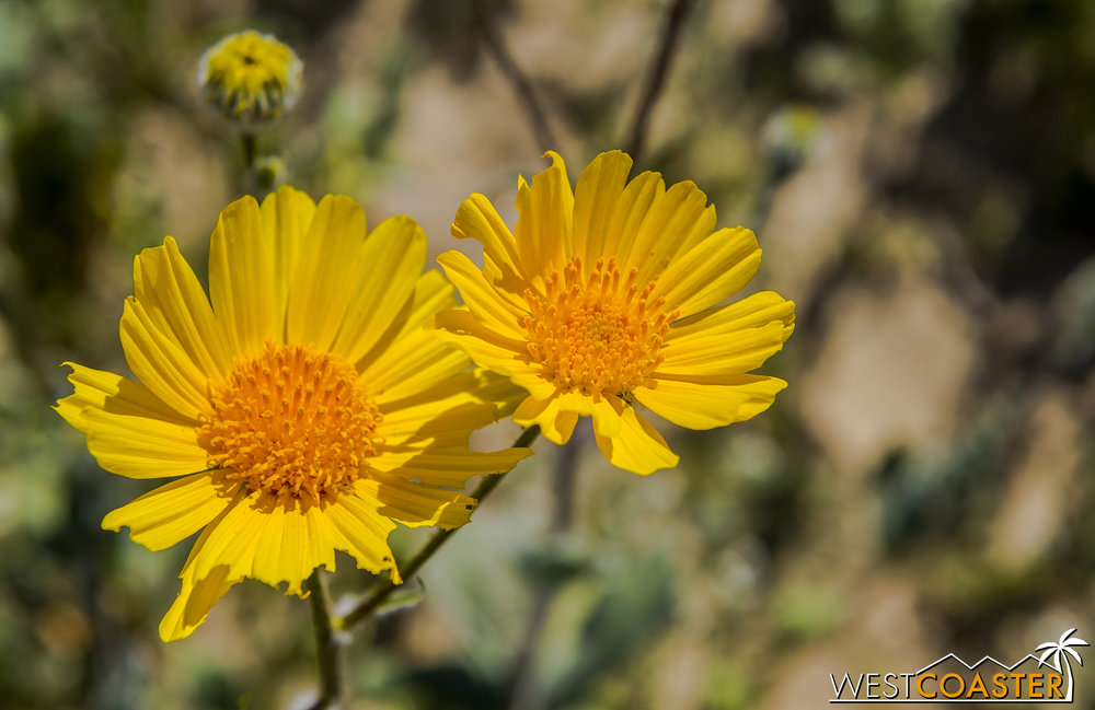 BorregoSprings-17_0316-B-Flowers-0032.jpg
