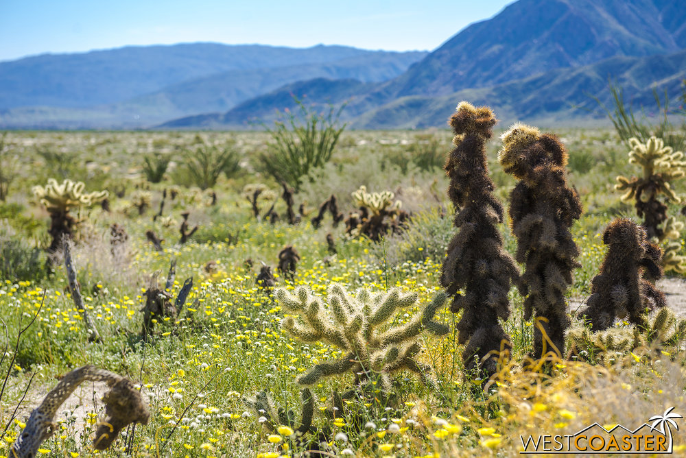 Fuzzy cactus with wildflowers all around, up near the Coyote Canyon area.