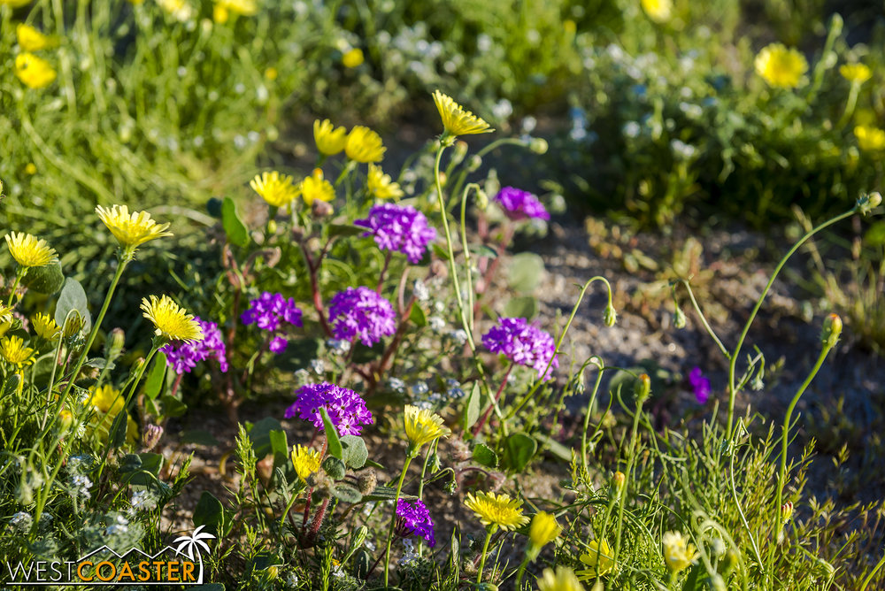 BorregoSprings-17_0316-B-Flowers-0050.jpg