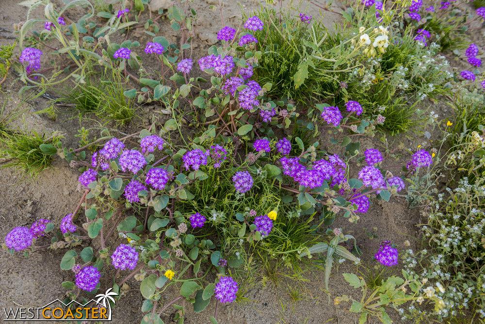 BorregoSprings-17_0316-B-Flowers-0055.jpg