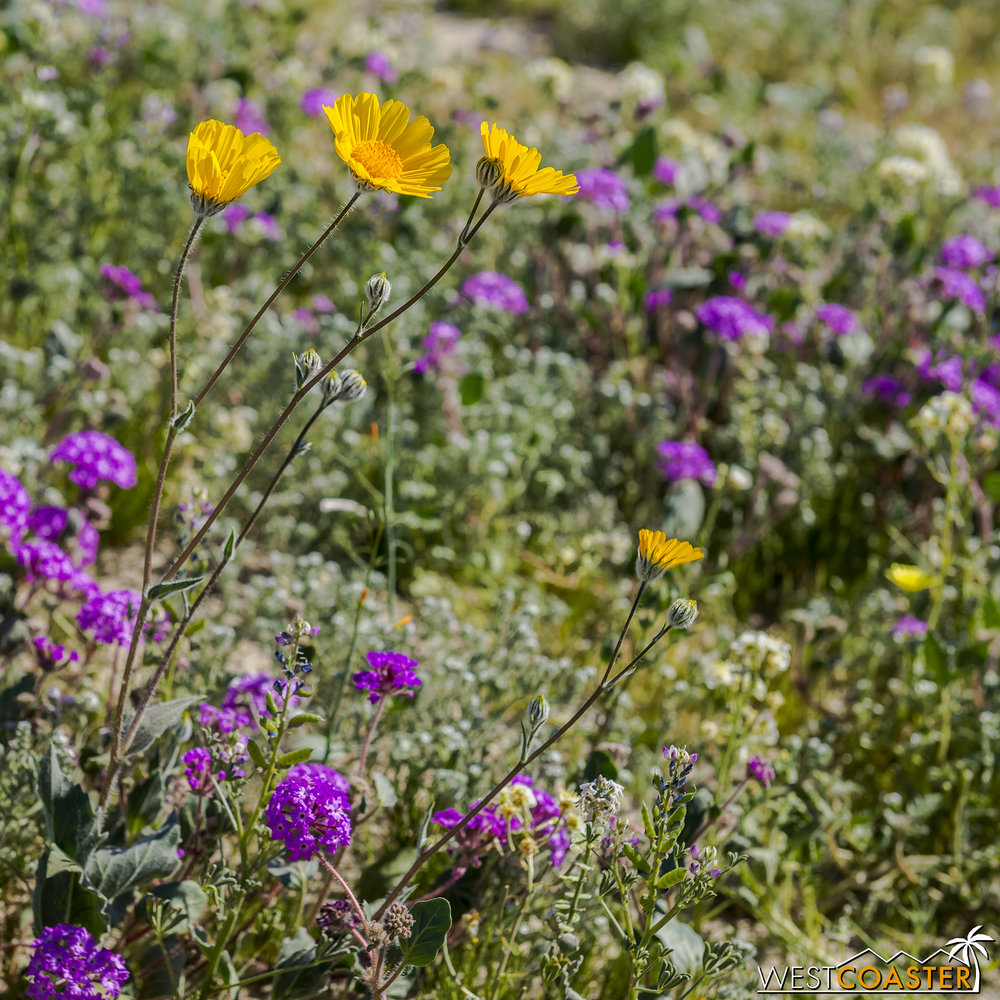 Desert sunflower and verbena together in purple and golden hues.