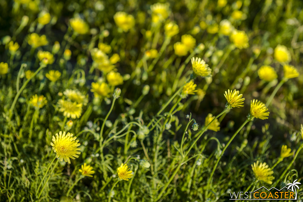Desert dandelions... millions of them... along Sandy S Drive.