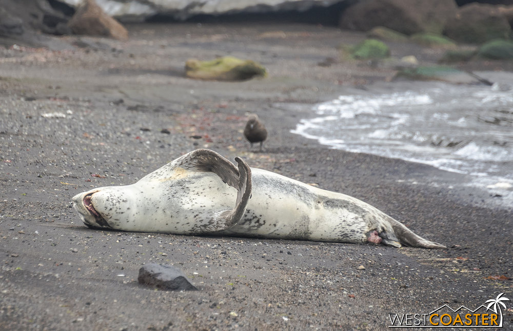 A leopard seal enjoying an afternoon siesta.