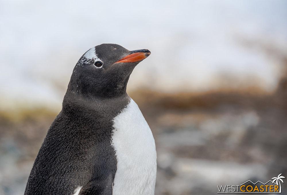 Close-up of a gentoo penguin.