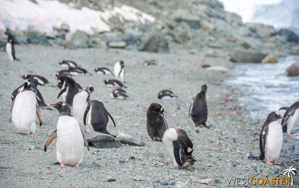 The island has a pretty plentiful population of gentoos.