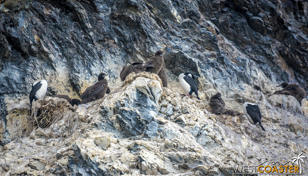 Cormorants--adults and chicks--perched on rocks high above the water.