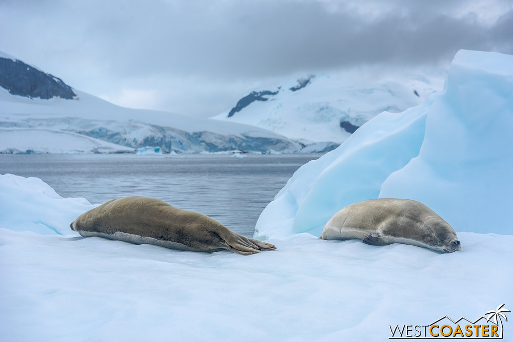A pair of crabeater seals sleeping on the ice.