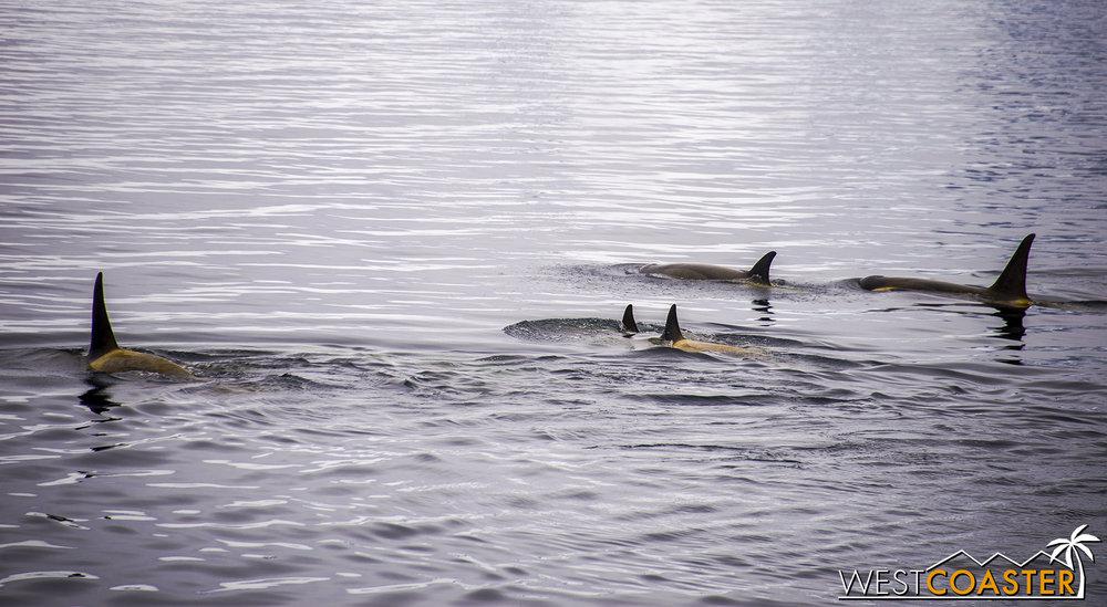 The trademark dorsal fin of killer whales.