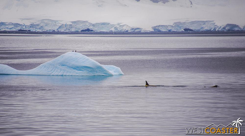 Antarctica-18_0606-A-Whales-0001.jpg