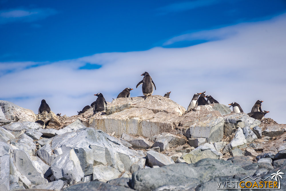 The gentoo penguins are quite populous!
