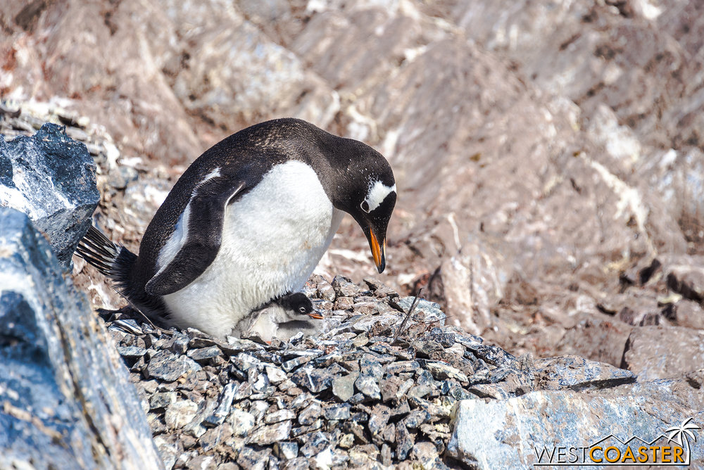Another penguin nurses a younger chick.