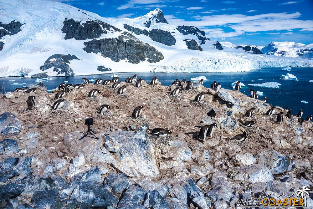 Plenty of penguins are gathered around.