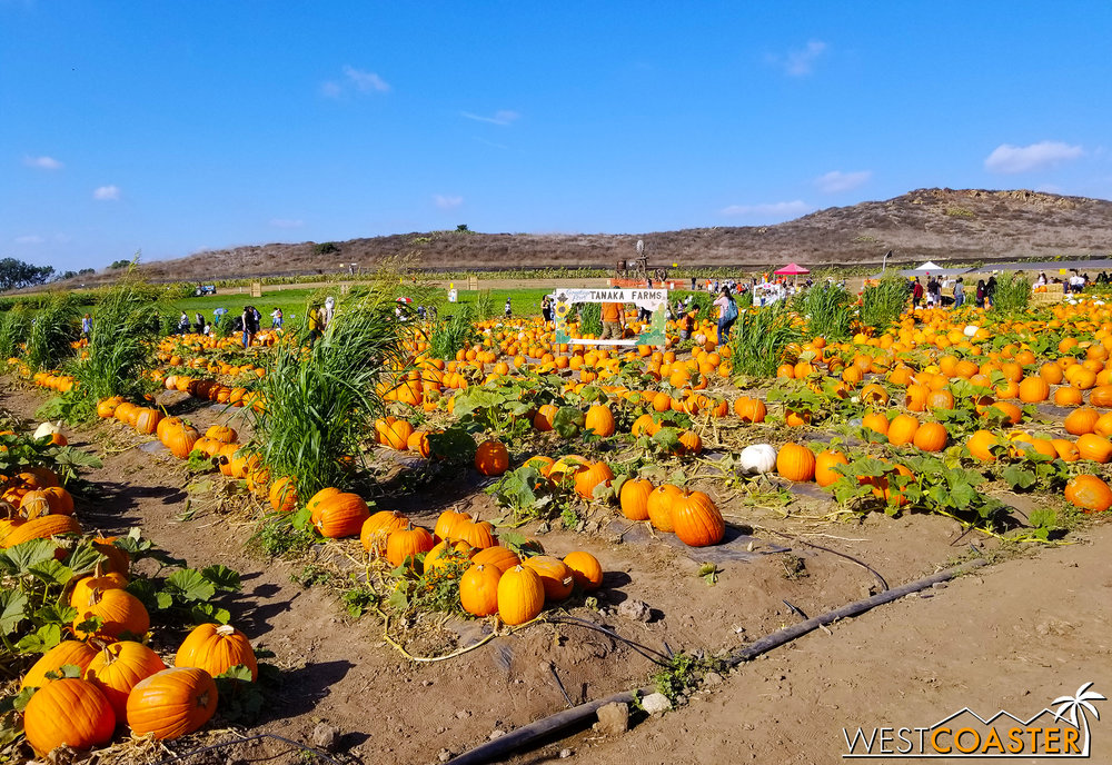 Tanaka Farms' pumpkin patch features a lot of pumpkins.