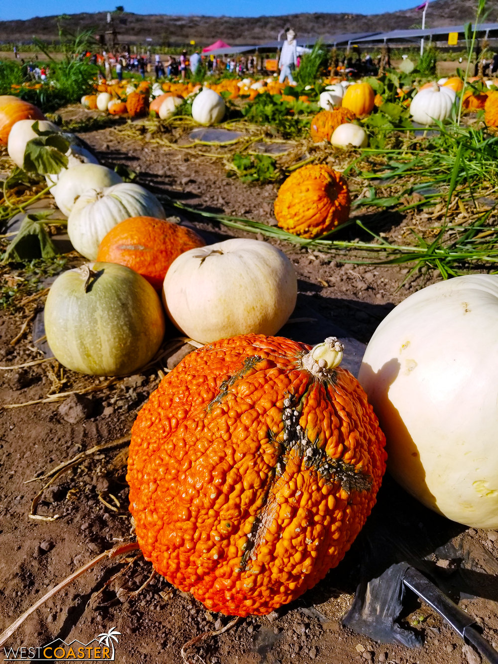 Pumpkins of all different types, including the warty kind.
