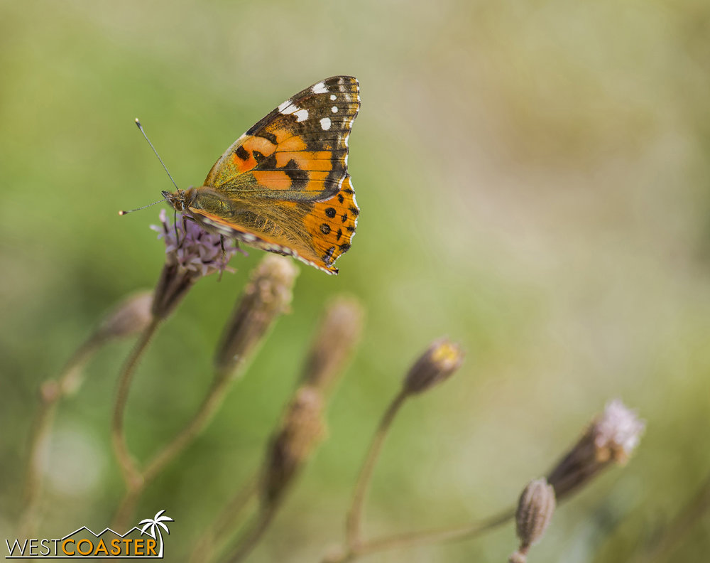 Painted lady butterflies are all over Southern California right now, on their annual migration root.